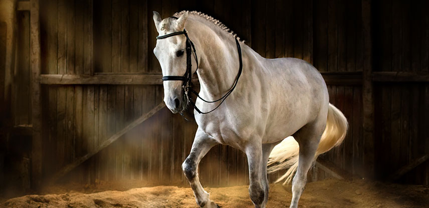 Stallion Disability Equine Insurance - The Marks Agency Inc